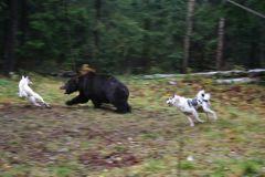 Состязания лаек по п/медведю