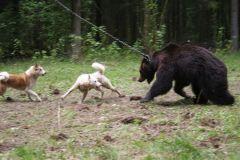 Состязания по медведю
