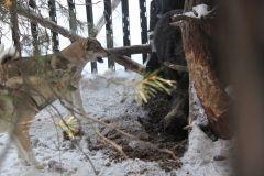 ярый и вьюга работают кабана