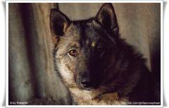 Волчий взгляд.