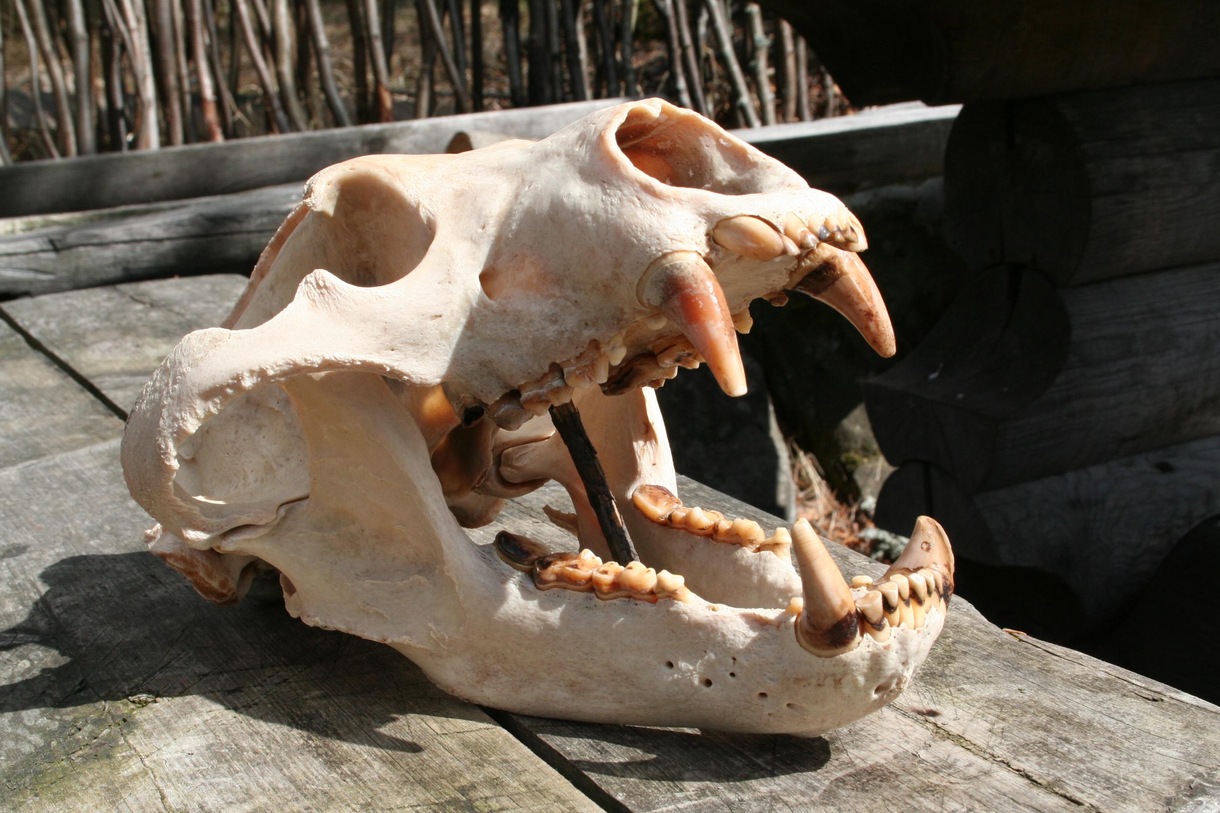череп медведя