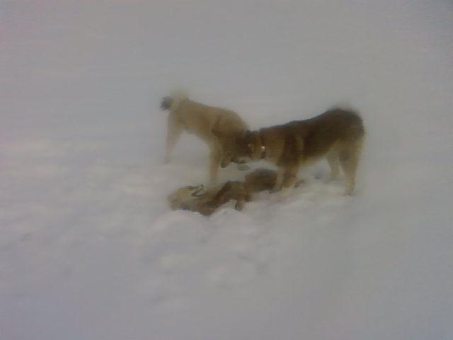 Еще щенками лиса догнали и задавили.