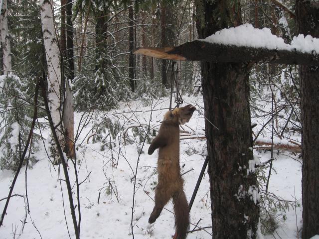 Охотничьи капканы и самоловы