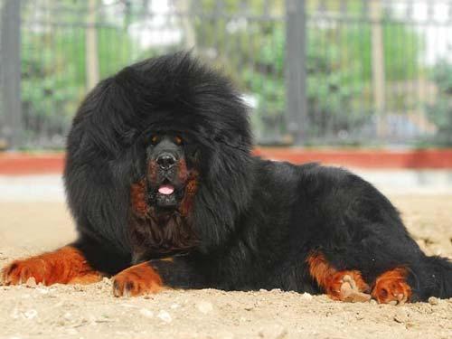 tibetskii-mastif-bolshioy.jpg