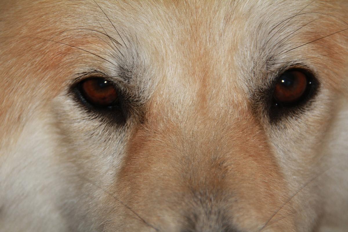 Глаз собаки фото