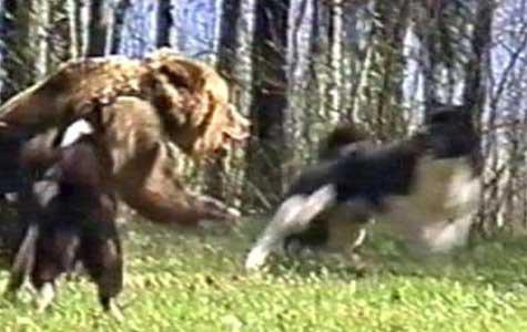 Охота с лайками на медведя.