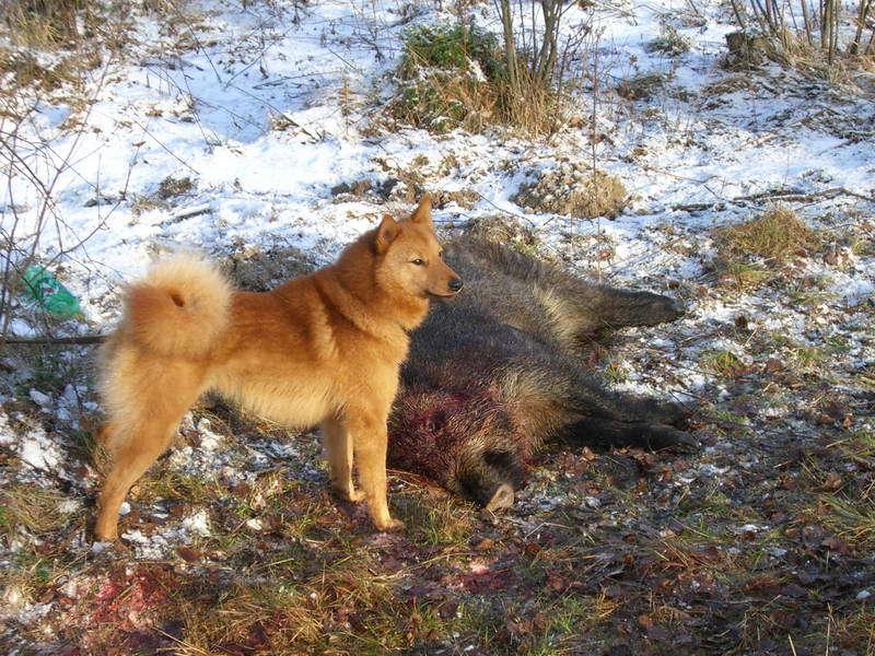 карело финская лайка для охоты