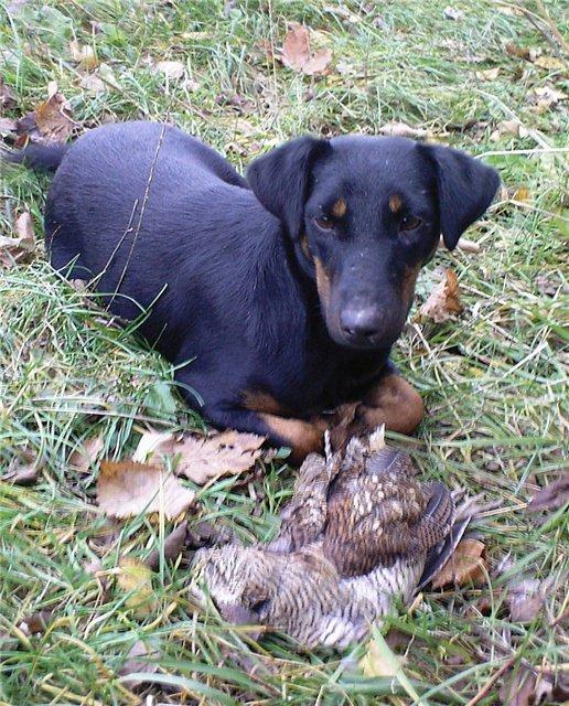 Не могу определится какую собаку взять для охоты на зайца лису Ягдтерьера или