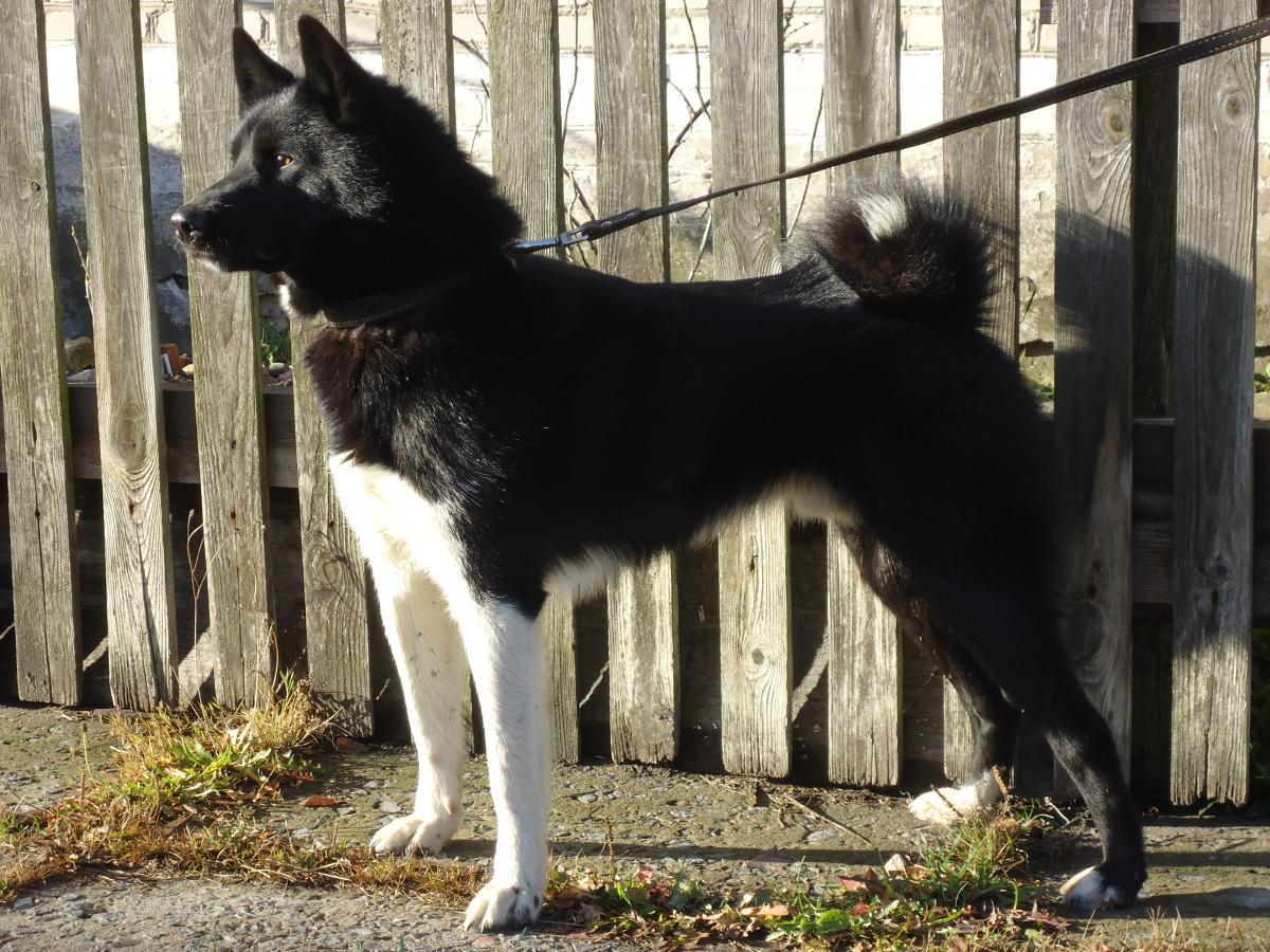 пример фото собак лаек черно-белого окраса выключатель