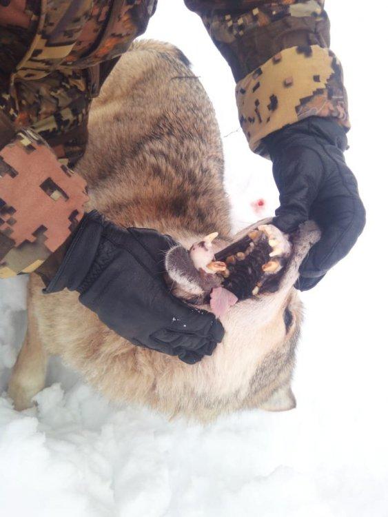 Волчица с Перми1.jpg