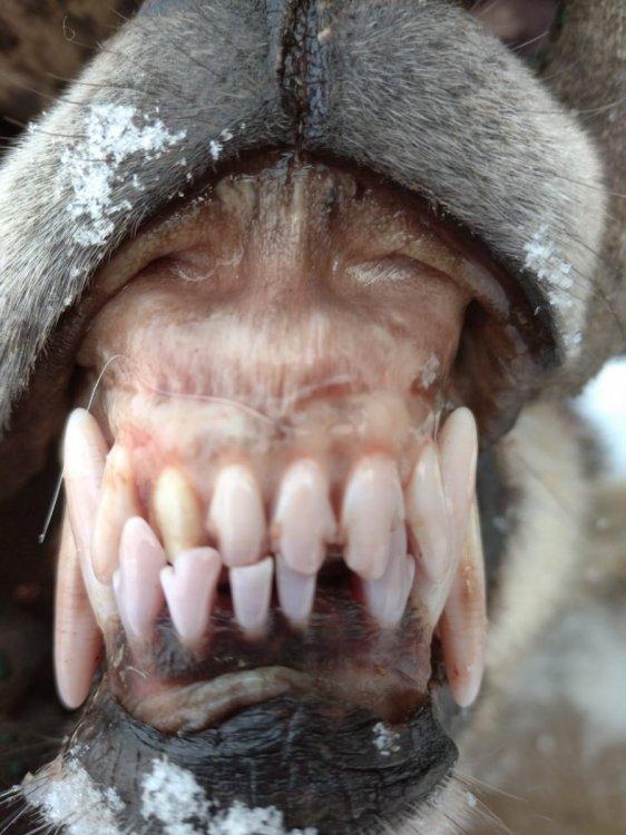 Волчица 7-ми лет добыта в Удмуртии.jpg