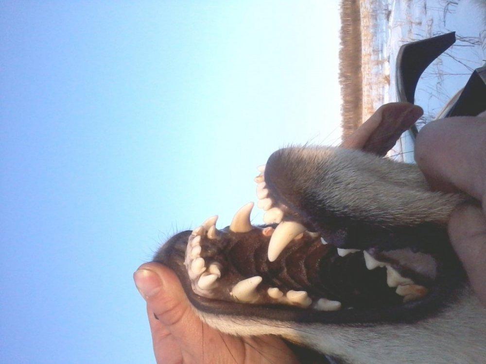 волк из Тюмени1.jpg