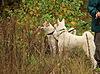 60 Псковская областная выставка собак охотничьих пород. - последнее сообщение от kustic